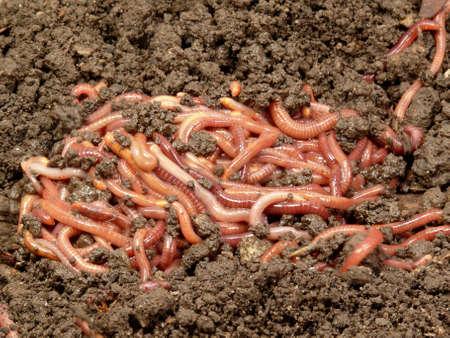 regenwormen  Stockfoto