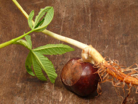 chestnut seed photo