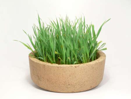 free plate: Cat grass