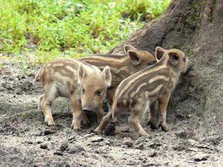 wild pigs Imagens