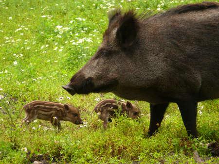 wild boars    Standard-Bild