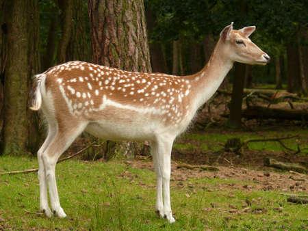 roe deer Stock Photo - 5189185