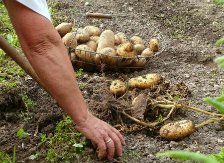 Harvesting_handwork Standard-Bild - 5378707