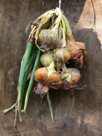cebollas: bulbos frescos en el sol Foto de archivo
