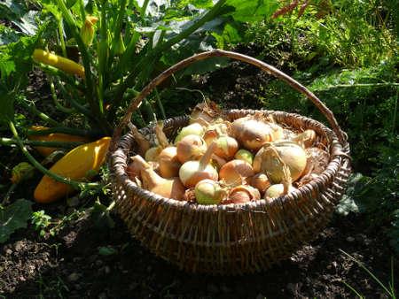 alliaceae: onion harvest