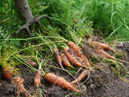 matures: orange carrots on the field
