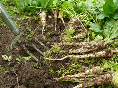 matures: Pastinaken (white carrots)