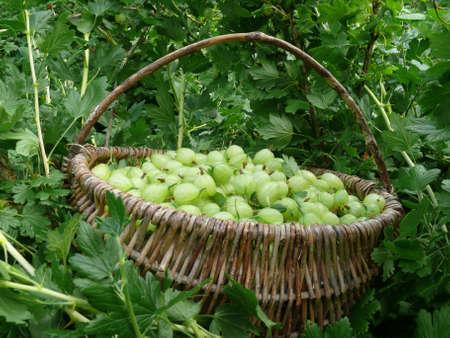 Gooseberries Stock Photo - 7275486