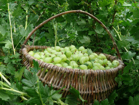 Gooseberries Stock Photo - 7275486