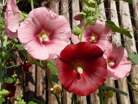 hollyhock: Hollyhocks