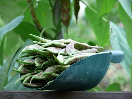 faboideae: Greenbeans