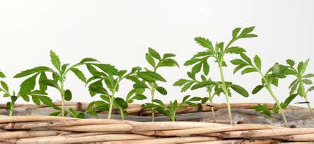 freed: Tomato plants Stock Photo