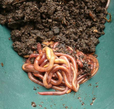 earthworms: Lombrices de tierra