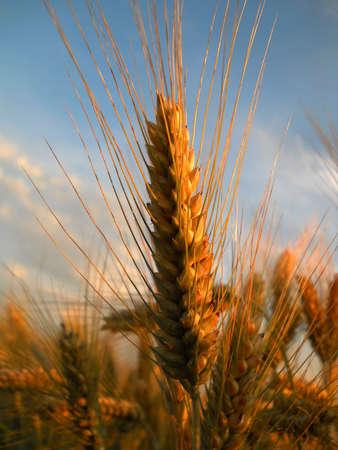 rye of wheat Stock Photo - 9924669