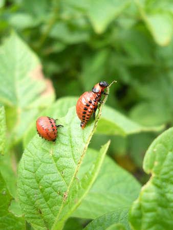 the larvae: Colorado potato beetles Stock Photo