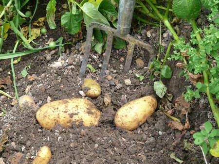 gelb: Kartoffeln ausmachen Stock Photo