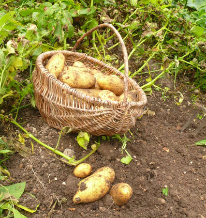 Kartoffeln ausmachen Stock Photo - 10160519