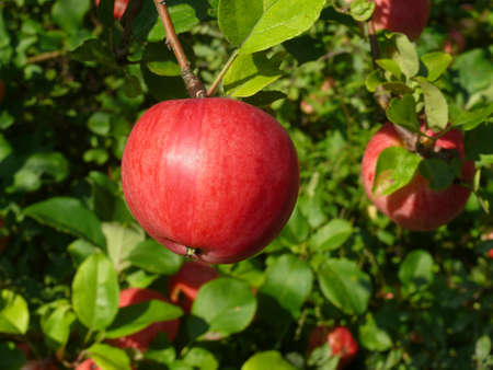 vergers: pomme rouge