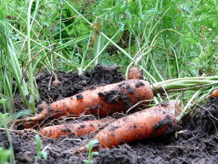 organic farming:  fresh carrots from organic farming Stock Photo