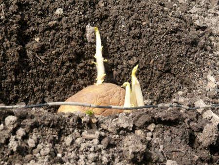 Seed potatoes Stock Photo - 13431339