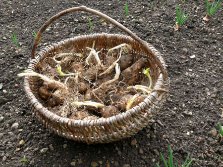 tuberous: Tuberous roots from Jerusalem artichokes