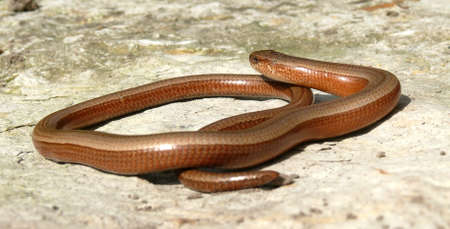 Slow worm in the sun photo