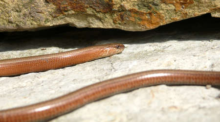Slow worm in the sun Stock Photo - 13711330