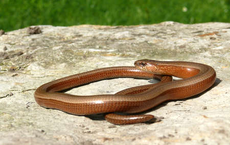 Slow worm in the sun Stock Photo - 13711289
