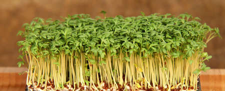 cress: garden cress