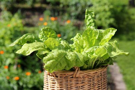 chard: Chard leafs Stock Photo