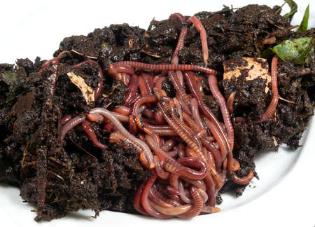 compost worms Stock Photo - 14524291