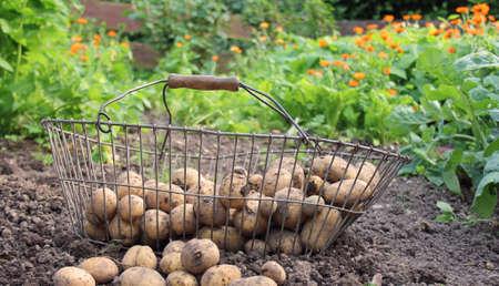 arable: potato arable