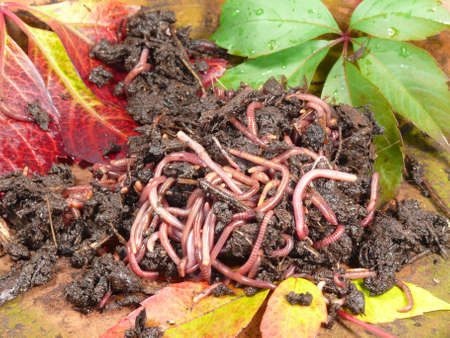 converts: compost worms in the autumn Stock Photo