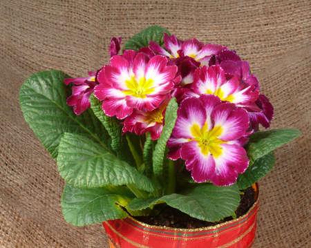 vulgaris: Primula vulgaris hybrid