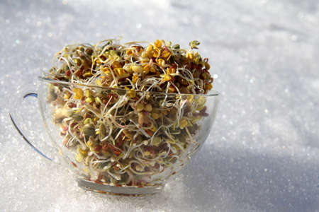 winter blues: sprouting seeds Stock Photo