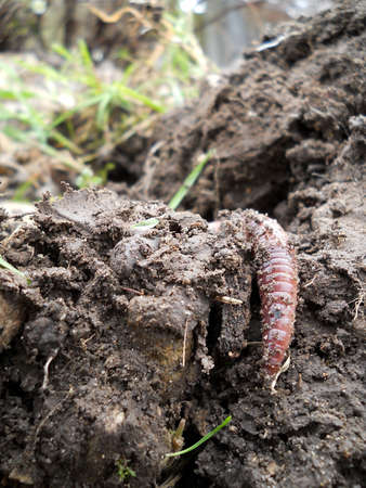 humus: Earthworm in the humus topsoil