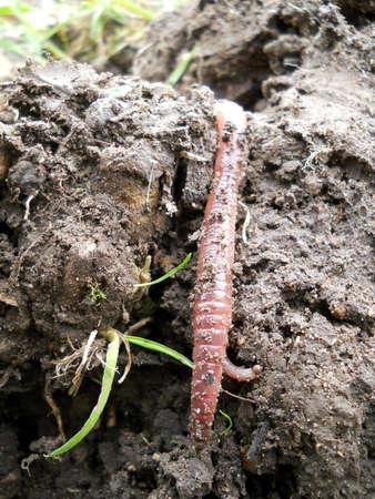 lombriz: Lombriz de tierra en el humus tierra vegetal