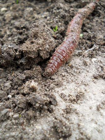 lombriz de tierra: Lombriz de tierra en el humus tierra vegetal
