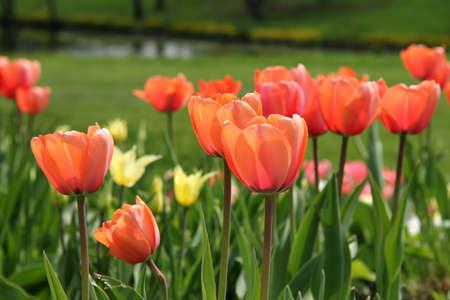 massif de fleurs: tulipes dans le parterre de fleurs