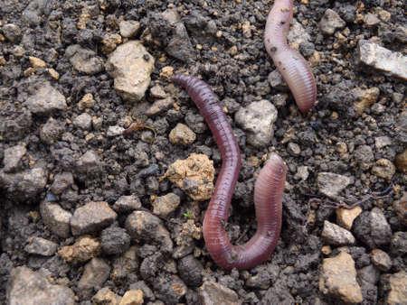 earthworms: las lombrices de tierra