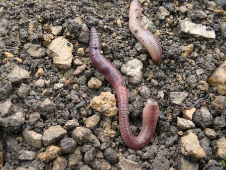 earthworms: earthworms