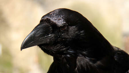 corax: the raven Stock Photo