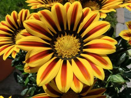 ing: Gazania flowers