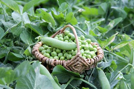 pea shrub: garden peas Stock Photo