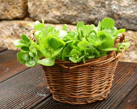 Gemüse Portulak Standard-Bild - 21755953