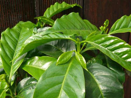 planta de cafe: planta de caf�