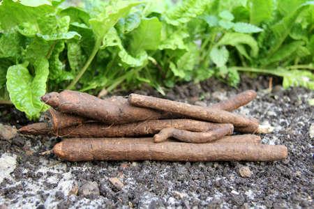 Garden-black roots