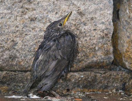 songbird: Songbird, the young star