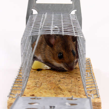 mouse trap: Forest mouse into a mouse trap