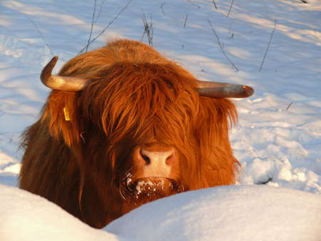 highland: Scottish Highland cattle